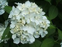 みちのく紫陽花園2014-07-05-096