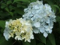 みちのく紫陽花園2014-07-05-095