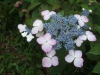 みちのく紫陽花園2014-07-05-093