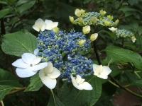 みちのく紫陽花園2014-07-05-104