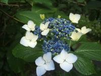 みちのく紫陽花園2014-07-05-103