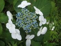 みちのく紫陽花園2014-07-05-099
