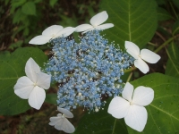 みちのく紫陽花園2014-07-05-110
