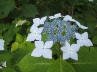 みちのく紫陽花園2014-07-05-106