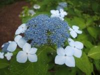 みちのく紫陽花園2014-07-05-105