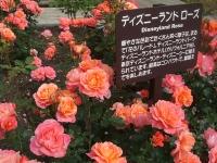 2014-06-21花巻温泉街バラ園232