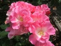 2014-06-21花巻温泉街バラ園227