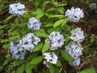 みちのく紫陽花園2014-07-05-113