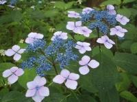 みちのく紫陽花園2014-07-05-111
