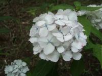 みちのく紫陽花園2014-07-05-124