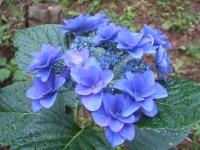 みちのく紫陽花園2014-07-05-130
