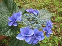 みちのく紫陽花園2014-07-05-129