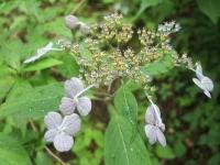 みちのく紫陽花園2014-07-05-128