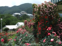 2014-06-21花巻温泉街バラ園249