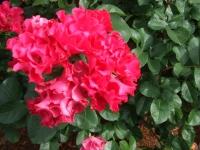 2014-06-21花巻温泉街バラ園245