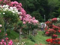 2014-06-21花巻温泉街バラ園263