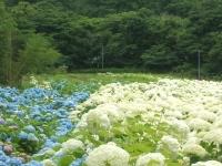 みちのく紫陽花園2014-07-05-137