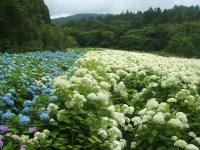 みちのく紫陽花園2014-07-05-135