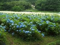 みちのく紫陽花園2014-07-05-133
