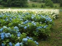みちのく紫陽花園2014-07-05-134