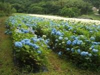 みちのく紫陽花園2014-07-05-132