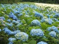 みちのく紫陽花園2014-07-05-142