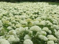 みちのく紫陽花園2014-07-05-141