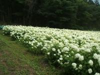みちのく紫陽花園2014-07-05-140