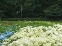 みちのく紫陽花園2014-07-05-138
