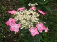 みちのく紫陽花園2014-07-05-147
