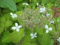 みちのく紫陽花園2014-07-05-145