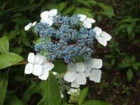みちのく紫陽花園2014-07-05-146