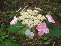 みちのく紫陽花園2014-07-05-144