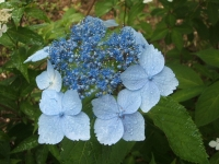 みちのく紫陽花園2014-07-05-150