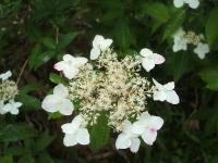 みちのく紫陽花園2014-07-05-151