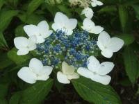 みちのく紫陽花園2014-07-05-149