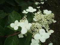 みちのく紫陽花園2014-07-05-159