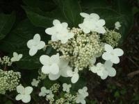 みちのく紫陽花園2014-07-05-158