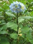 みちのく紫陽花園2014-07-05-156