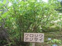 みちのく紫陽花園2014-07-05-155