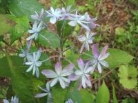 みちのく紫陽花園2014-07-05-154