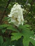 みちのく紫陽花園2014-07-05-163