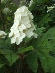 みちのく紫陽花園2014-07-05-162