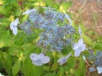みちのく紫陽花園2014-07-05-161