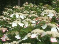 みちのく紫陽花園2014-07-05-168