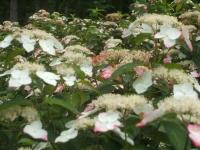 みちのく紫陽花園2014-07-05-169