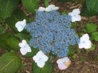 みちのく紫陽花園2014-07-05-167