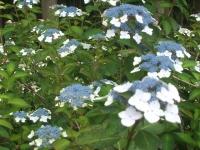 みちのく紫陽花園2014-07-05-166