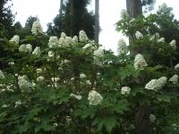 みちのく紫陽花園2014-07-05-164