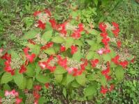みちのく紫陽花園2014-07-05-174